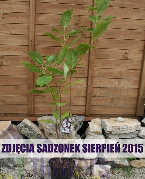 Uprawa Magnolii