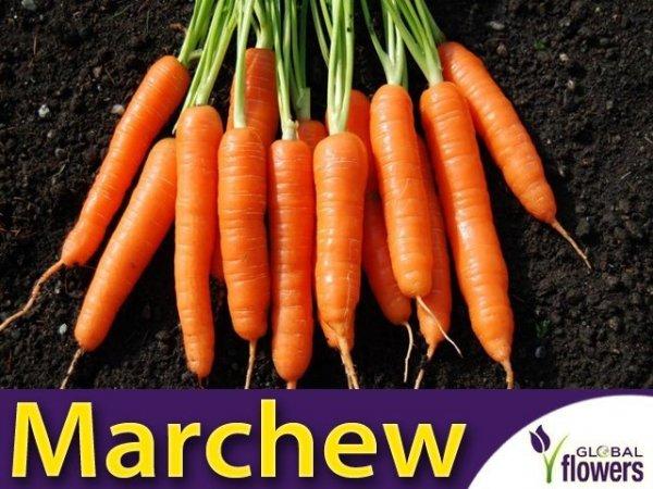 Marchew Nantes 3- Nantejska Średnio Wczesna (Daucus carota) XL 100g