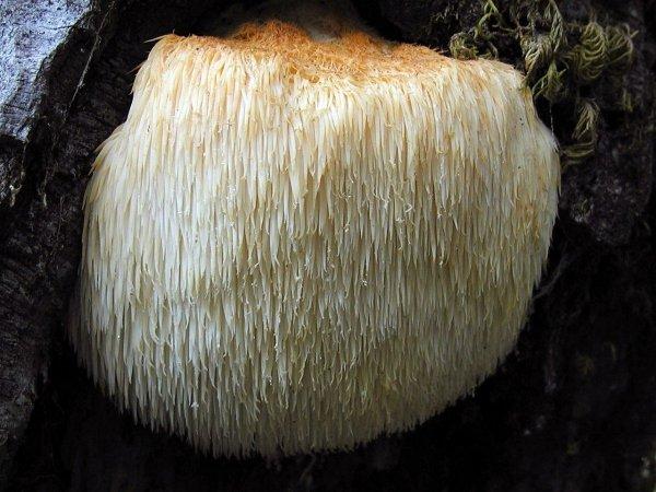 Soplówka jeżowata grzybnia na kołkach 20szt kołków - wszechstronne działanie przeciw wirusowe