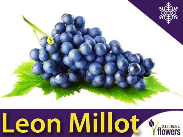 Winorośl Leon Millot Sadzonka - odmiana deserowo-przerobowa Vitis 'Leon Millot'
