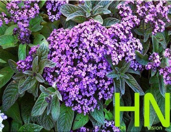 Heliotrop waniliowy (Heliotropium arborescens) 0.1g