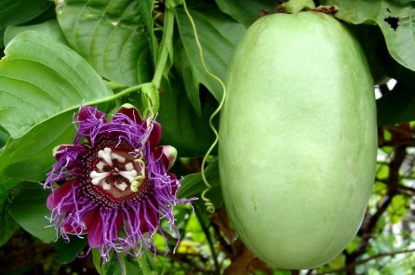 Męczennica Olbrzymia (Passiflora quadrangularis)