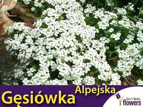 Gęsiówka alpejska biała (Arabis alpina)