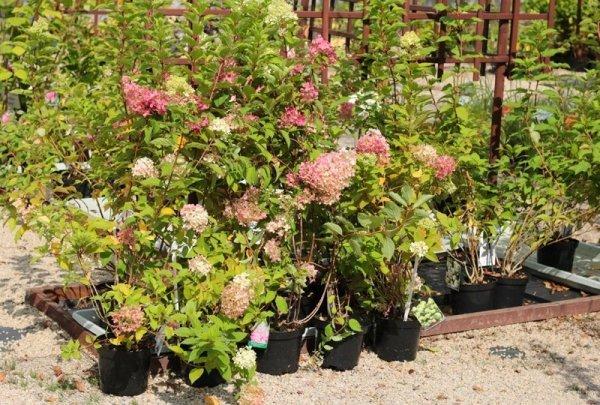 Hortensje bukietowe - najpiękniejsze krzewy liściaste kwitnące