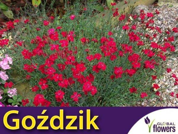 Goździk kropkowany karminowo-czerwony (Dianthus deltodies) 0,3g