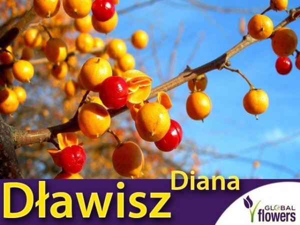 Dławisz okrągłolistny żeński 'Diana' (Celastrus orbiculatus) Sadzonka