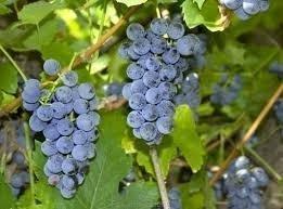 Winorośl Agat Doński odmiana deserowa idealna do uprawy w polskim klimacie
