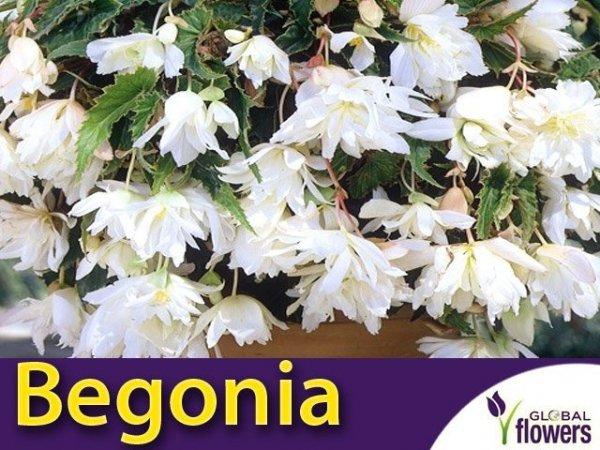 Begonia zwisająca biała  CEBULKA uprawa