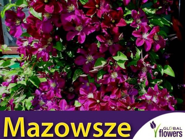 Clematis Powojnik 'Mazowsze' Sadzonka