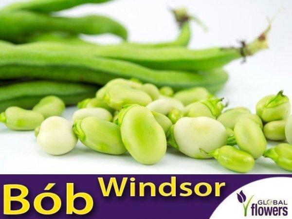 Bób Windsor Biały (Vicia faba) opakowanie XL 1kg
