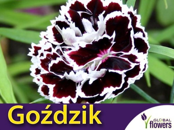 Goździk Chianti  (Dianthus chinensis)  0,1g