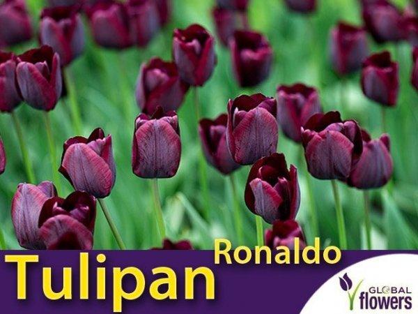 Tulipan Triumph 'Ronaldo' (Tulipa) CEBULKI