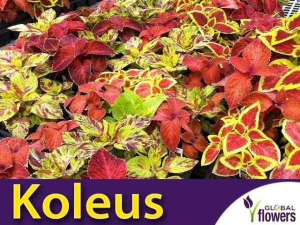 Koleus Blumego (Coleus blumei) 0,1g