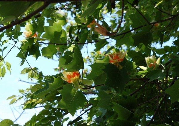Tulipanowiec amerykański - uprawa, sadzenie