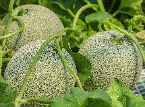 Melon Seledyn (Cucumis melo) 1g