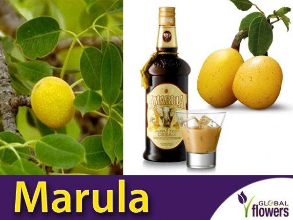 Marula - Drzewo Słoni (Sclerocarya birrea)