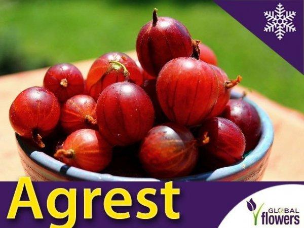 Agrest czerwony Kamieniar (Ribes uva-crispa) Sadzonka