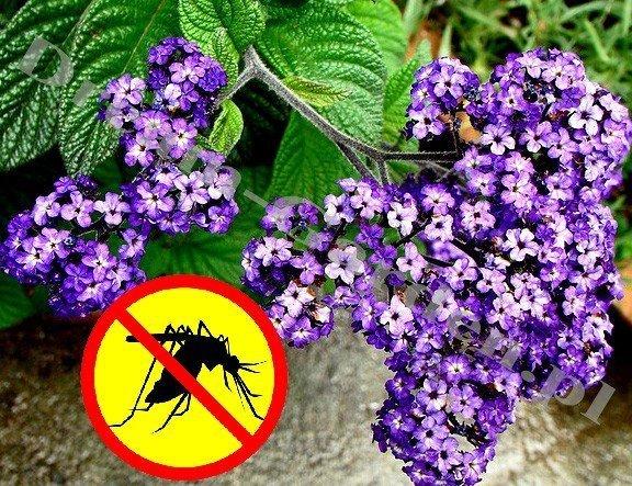 Heliotrop waniliowy (Heliotropium arborescens) skutecznie odstrasza komary Sadzonka