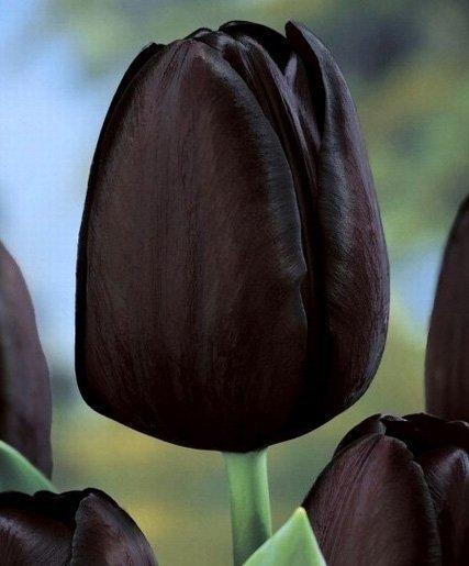 czarny tulipan hit
