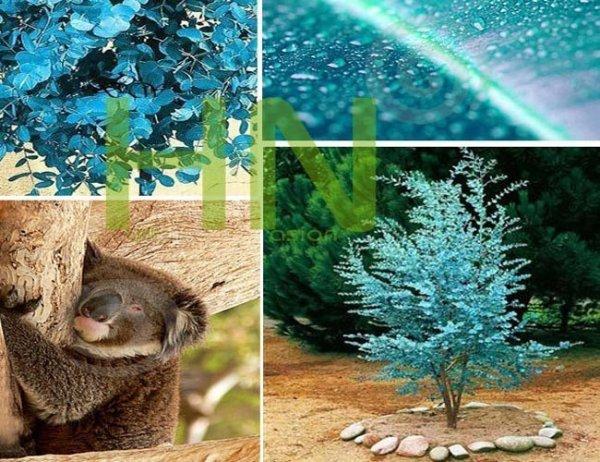 Niebieski Eukaliptus (Eukaliptus gunni) MEGA PAKA