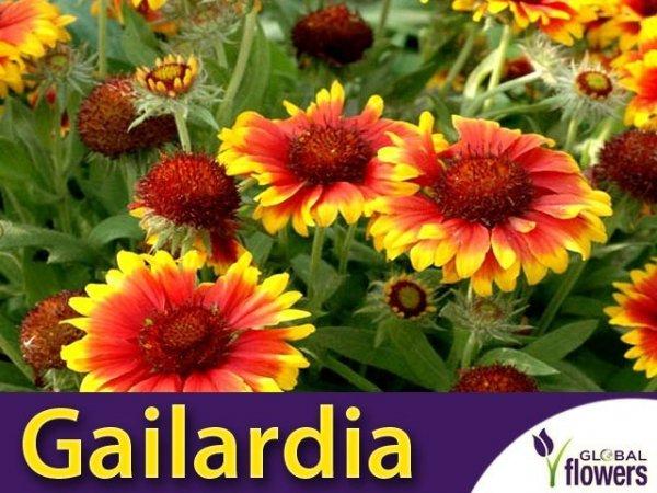 Gailardia oścista, Dzianwa (Gaillardia Foug)