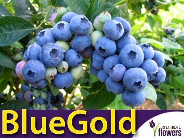 Borówka Amerykańska Duża Sadzonka 3 - 4 letnia- odmiana BlueGold