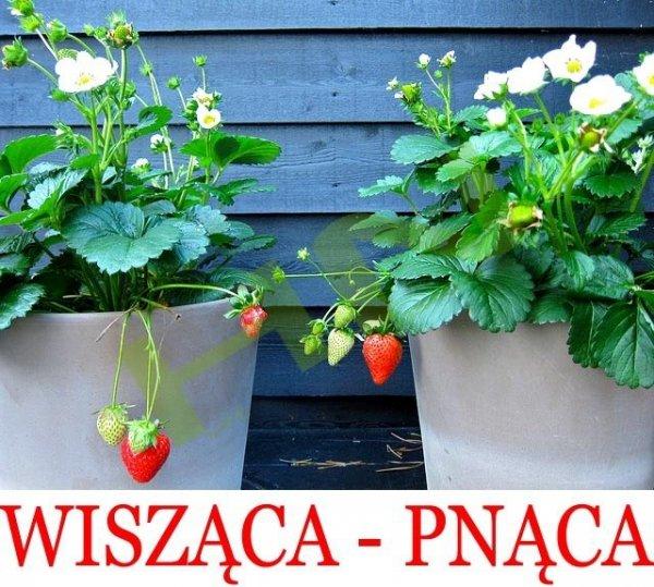 Truskawka Temptation Pnąco-wisząca (Fragaria x ananassa)