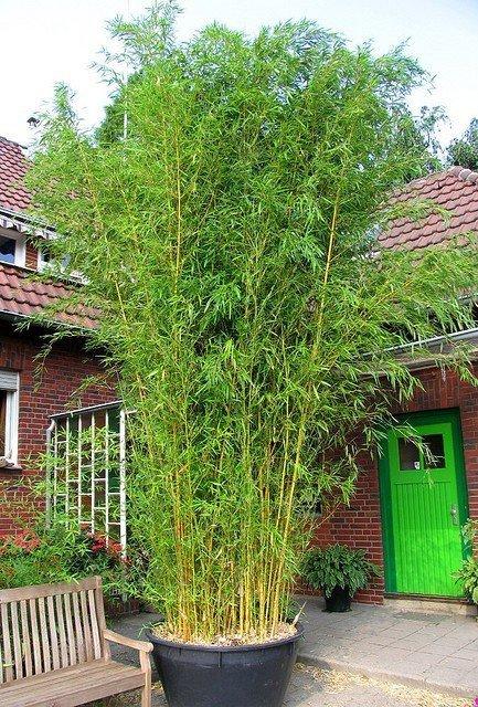 Bambus ogrodowy mrozoodporny - uprawa w ogrodzie, odmiany