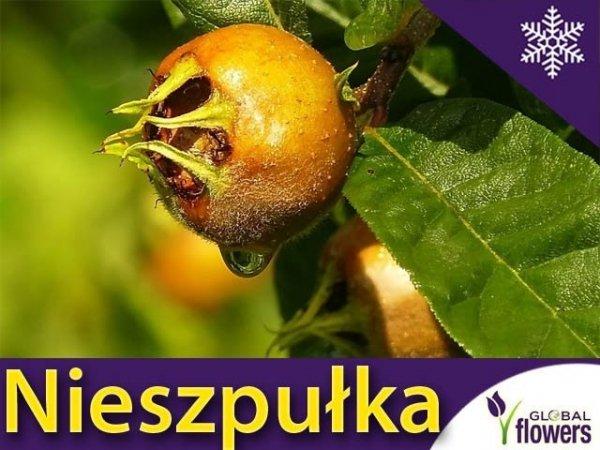 Nieszpułka jadalna (Mespilus germanica) Sadzonka