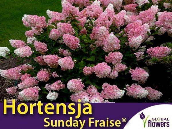 Hortensja Bukietowa 'Sunday Fraise ®' miniaturowa (Hydrangea paniculata) Sadzonka
