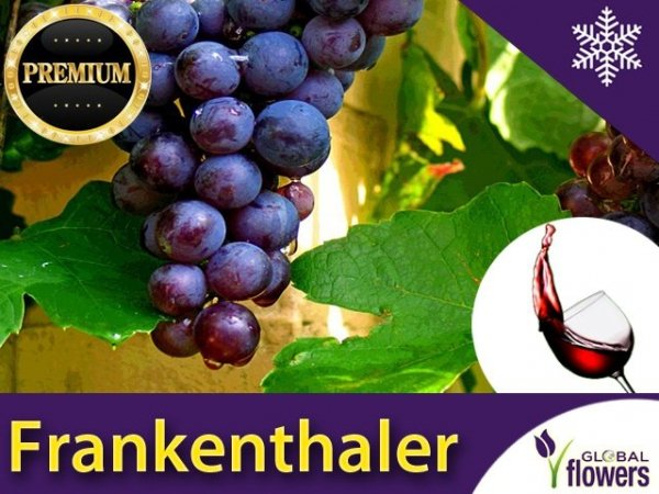 Winorośl deserowo-przerobowa 'Frankenthaler' (Vitis) Sadzonka