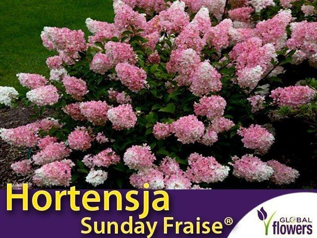 hortensja bukietowa cena sunday fraise miniaturowa