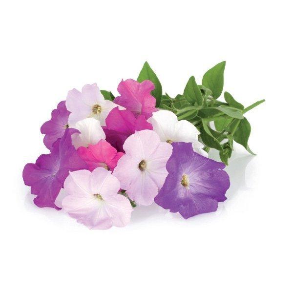 Kolorowe, ozdobne kwiaty petunii