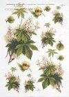 hestnut, chestnut flowers, chestnut branches, chestnut leaves, chestnut seeds-R0322