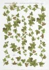 ivy, common ivy, leaves, shrubs, plants, R321