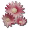 Rumianek różowy 3 wielkości 20 szt.