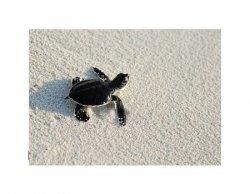 Żółwik - reprodukcja