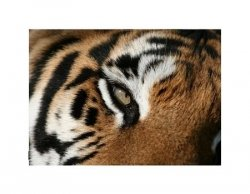 eye of the Tiger - reprodukcja