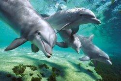Delfiny (pod wodą) - plakat
