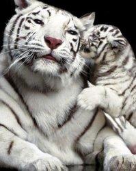 Tiger Kiss - plakat