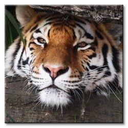 Obraz ścienny - Ukryty tygrys - 40x40cm