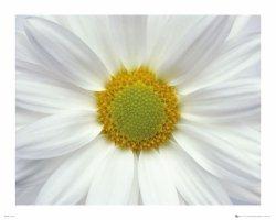 Biały Kwiat - plakat