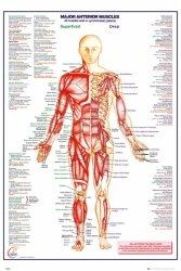 Ciało Człowieka - Przód - Mięśnie (wersja angielska) - plakat