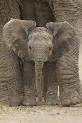 Wielkie uszy (Mały słonik) - plakat