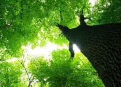 Fototapeta naśćianę - Gigatyczne drzewo - 254x183 cm