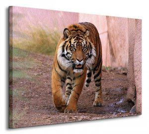 Tygrys Alfa - Obraz na płótnie