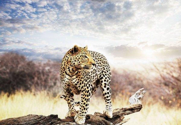 Fototapeta na ścianę - Leopard - 366x254 cm