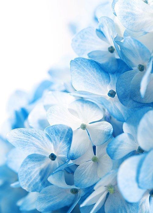 Fototapeta Scienna Niebieskie Kwiaty 183x254 Cm Kwiaty I Rosliny Natura Fototapety Na Sciane